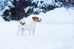 Jack Russell dog outdoors in winter Stock Photography