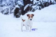 Jack Russell dog outdoors in winter Stock Photos