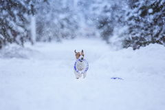Jack Russell dog outdoors in winter Royalty Free Stock Photos