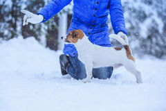 Jack Russell dog outdoors in winter Royalty Free Stock Image