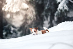 Jack Russell dog outdoors in winter. Jack Russell dog running plays winter walks in the park Royalty Free Stock Photos
