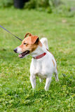 Jack Russell dog in park Stock Photos