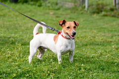 Jack Russell dog in park Royalty Free Stock Image