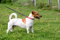Jack Russell dog in park Royalty Free Stock Images