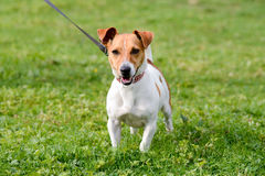 Jack Russell dog in park. Jack Russell dog walking on lead stopping to look at other dogs in park Royalty Free Stock Photography