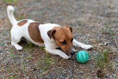 Jack russell dog playing with ball on grass meadow. Royalty Free Stock Photo