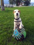 Jack Russell Dog Poses beau mignon avec du ballon de football en parc de crabe, Vancouver, AVANT JÉSUS CHRIST, Canada Photos stock