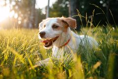 Free Jack Russell Dog Resting On The Backyard Lawn Of The House. Stock Photography - 215799192