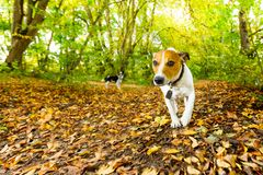 Dog running or walking in autumn royalty free stock image