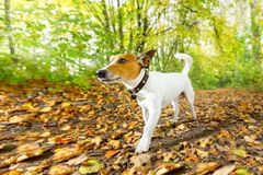 Dog running or walking in autumn royalty free stock photography