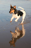 Jack Russell Dog Running Water stock photography