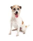 Jack Russell Dog Sitting di sguardo felice fotografie stock libere da diritti
