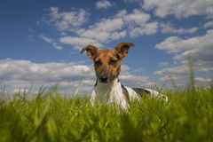 Jack Russell dog sitting in the park Stock Image