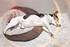 Free Jack Russell Dog Sleeping In The Sun Stock Images - 110446174