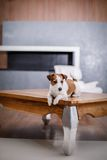 Jack Russell dog Royalty Free Stock Photo