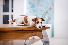 Jack Russell dog Stock Photography