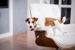 Jack Russell dog Stock Photo