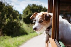 JACK RUSSELL DOG TRAVELING BY TRAIN ON VACATIONS SEASON, DEFOCUSED LANDSCAPE LIKE BACKGROUND.  royalty free stock image