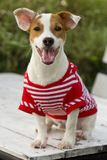 Jack Russell dog. Royalty Free Stock Photo