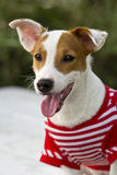 Jack Russell dog. Royalty Free Stock Images