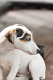 Jack russell dog Royalty Free Stock Photography
