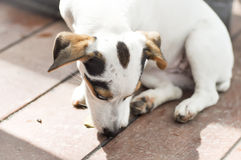 Jack russell dog Royalty Free Stock Photos