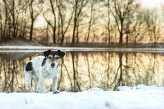 Jack Russell dog in winter is standing in front of colorful sunrise stock photo