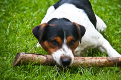 Jack Russell Dog Stock Photos