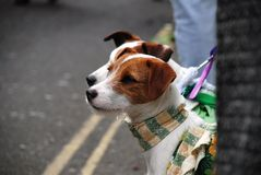 Jack Russell dogs Stock Images