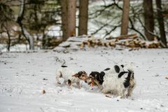Jack Russell Dogs are playing in the snow together stock photo