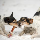 Jack Russell Dogs are playing in the snow together stock images