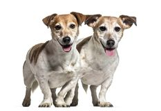 Jack Russell dogs , 8 years old. Together standing against white background Stock Image