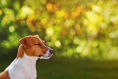 Jack russell dreaming in the park. Royalty Free Stock Images