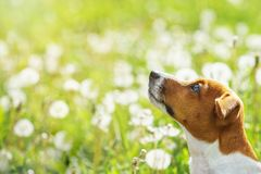 Jack russell dreaming in the park. Stock Photos