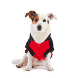 Jack Russell dressed up as a ladybug Stock Image