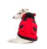 Jack Russell dressed up as a ladybug Royalty Free Stock Photo