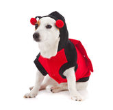 Jack Russell dressed up as a ladybug Stock Photo