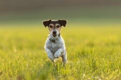 Jack Russell está correndo sobre um prado no verão uma luz traseira fotos de stock