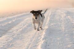 Jack Russell está corriendo Niebla y salida del sol en invierno foto de archivo