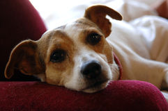 Jack Russell face Stock Photography