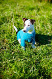 Jack Russell in a field in the summer Stock Image