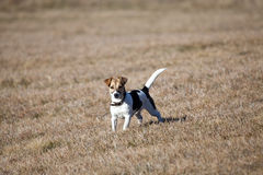 Jack russell in the fields Stock Image