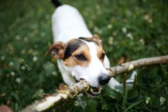 Jack russell fight over stick. On the grass in the park royalty free stock image