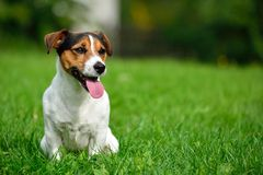 Jack Russell in garden. Jack Russell terrier in garden in grass Royalty Free Stock Photos