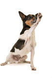 Jack Russell giving high five Royalty Free Stock Image