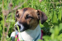 Jack russell in a green meadow stock photo