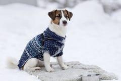 Jack Russell i vinterkläder royaltyfri foto