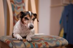 Jack Russell kłama na krześle w mieszkaniu obrazy royalty free