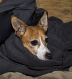 Jack Russell keeping warm Stock Photos