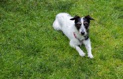 Jack Russell-Kreuzhund, der auf Gras liegt Stockbild